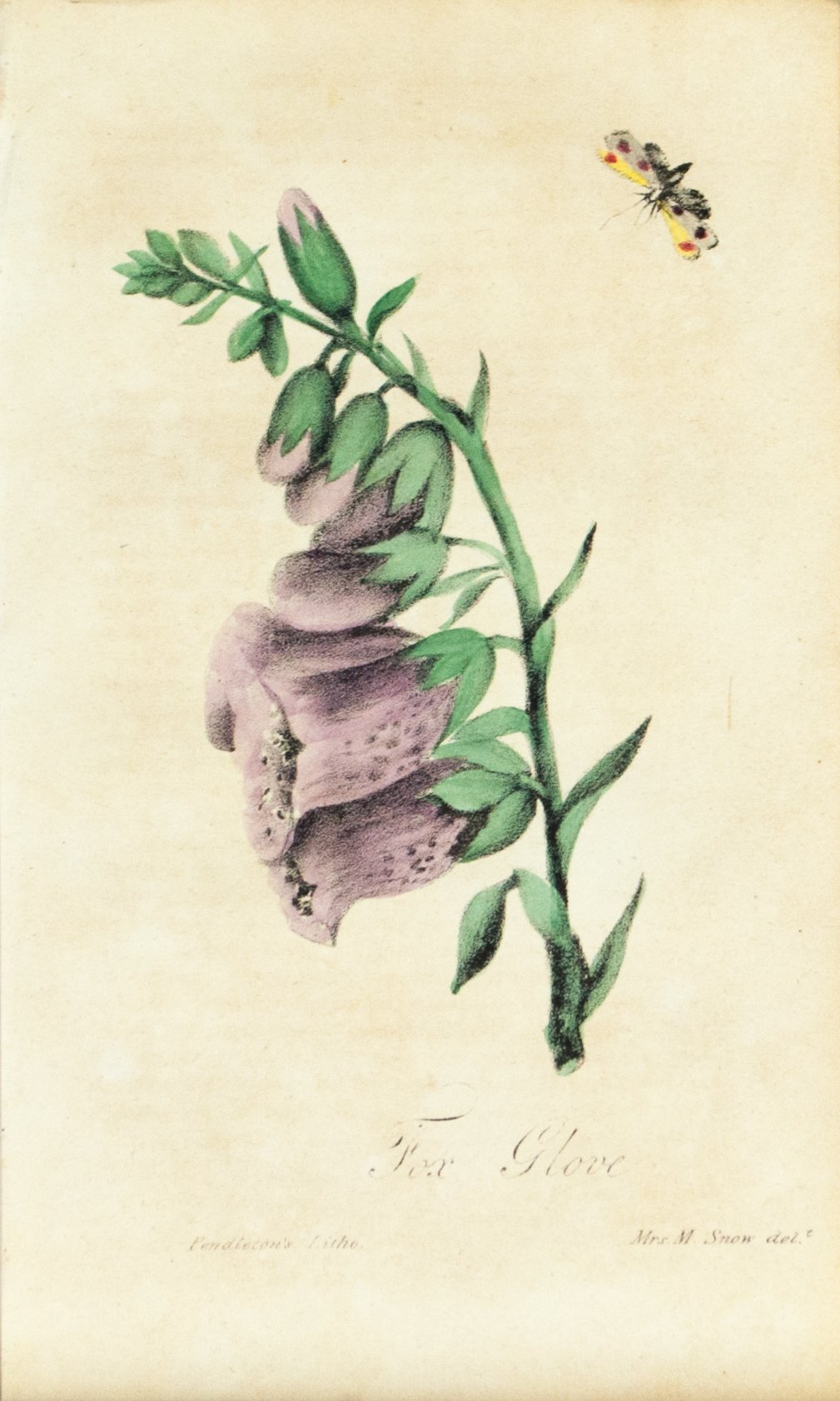 1830 Fox Glove Flower - Rev J L Blake