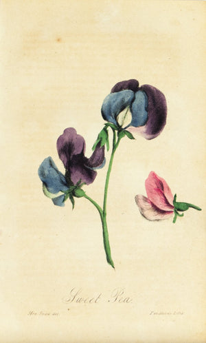 1830 Sweat Pea Flower
