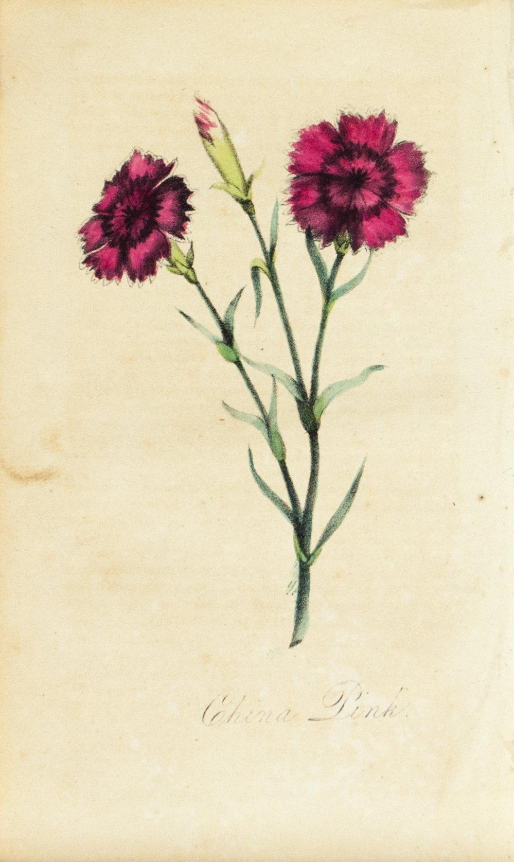1830 China Pink Flower - Rev J L Blake