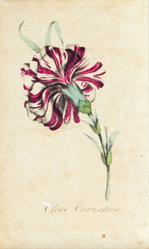 1830 Clove Carnation Flower - Rev J L Blake