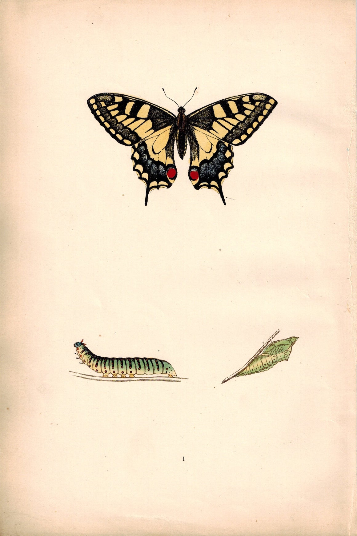 1891 Plate I - Swallow-tail - Morris