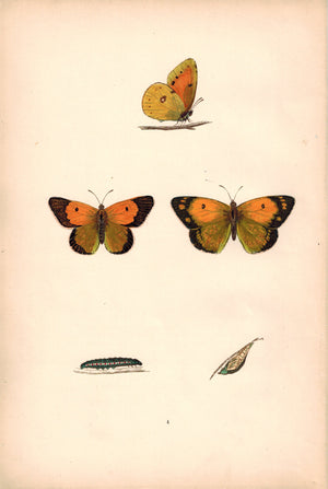 1891 Plate IV - Clouded Yellow - Morris