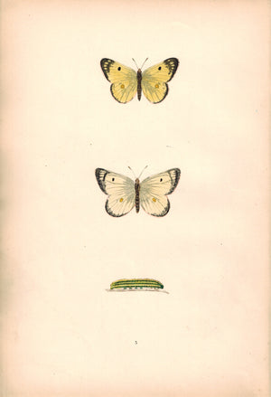 1891 Plate V - Pale Clouded Yellow - Morris