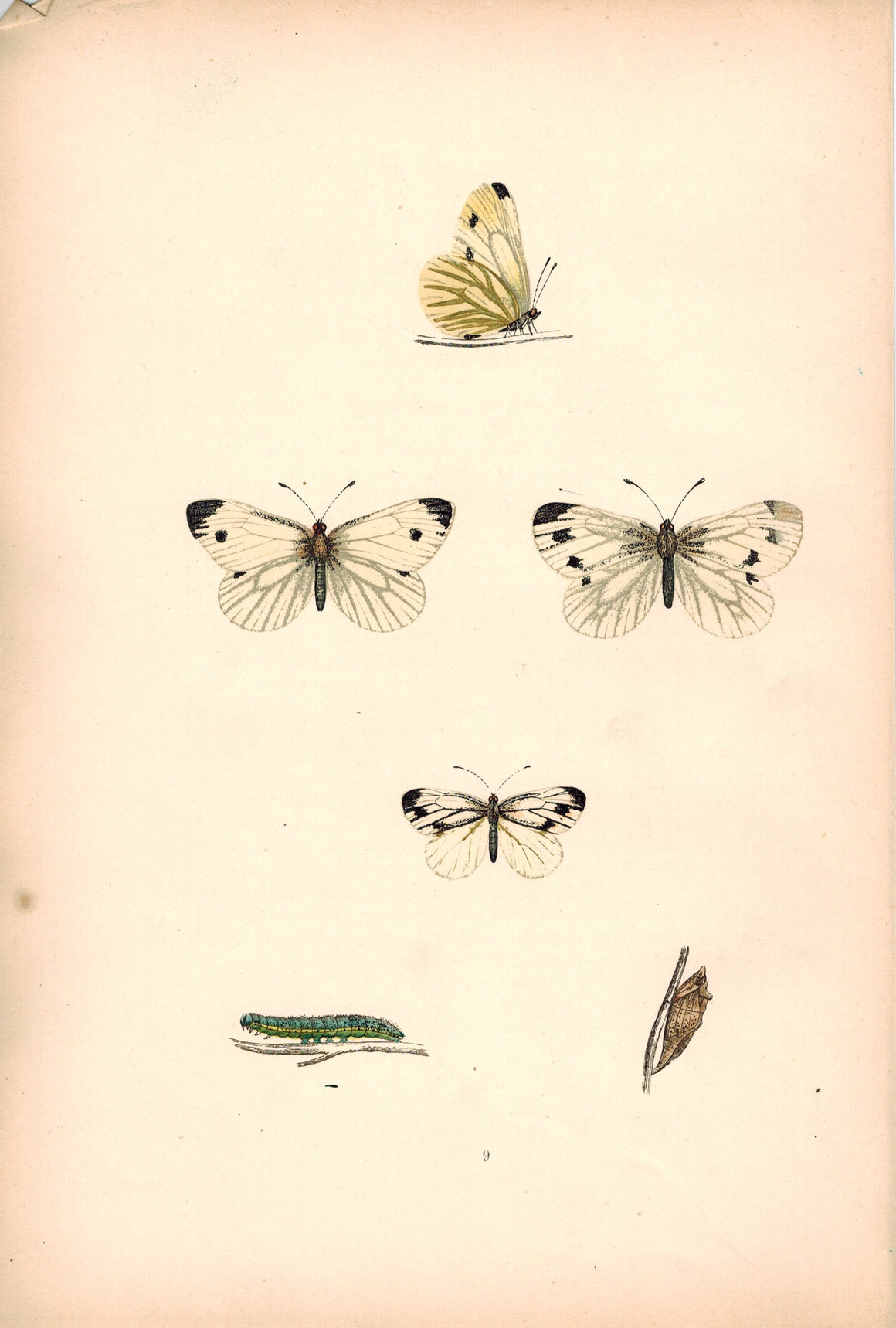 1891 Plate IX - Green Veined - Morris