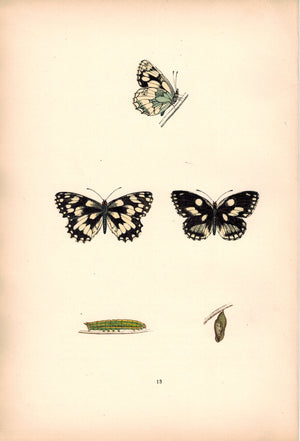 1891 Plate XIII - Marbled White - Morris