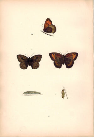 1891 Plate XIX -Large Meadow Brown - Morris