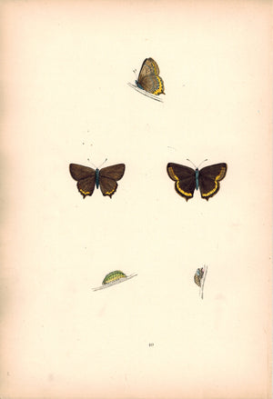 1891 Plate XL - Black Hairstreak - Morris