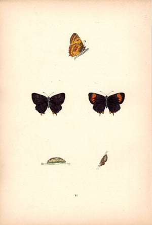 1891 Plate XLI - Brown Hairstreak - Morris