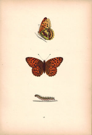 1891 Plate XLIX - High-Brown Fritillary - Morris