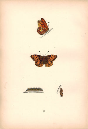 1891 Plate LI - Queen of Spain Fritillary - Morris