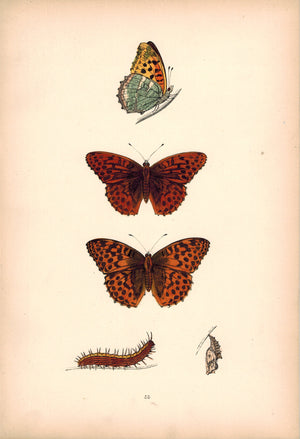 1891 Plate LIII - Silver-Washed Fritillary - Morris