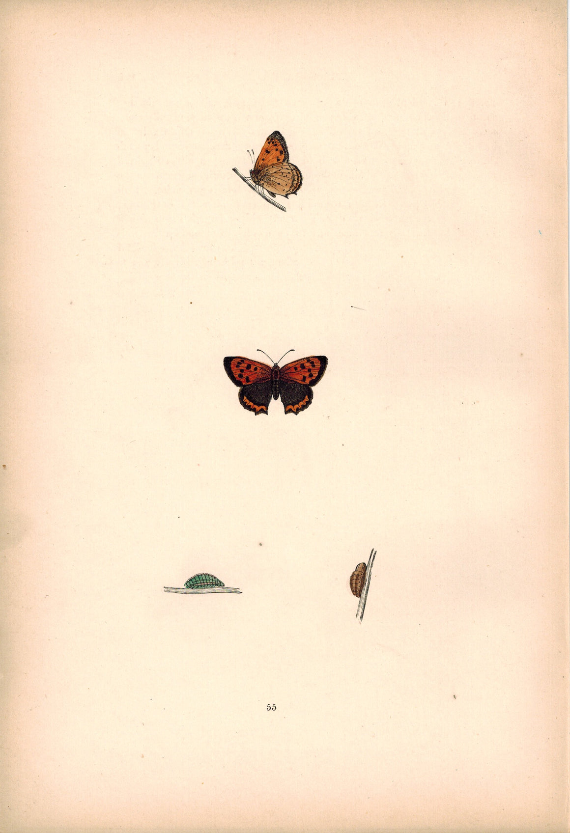 1891 Plate LV - Small Copper - Morris