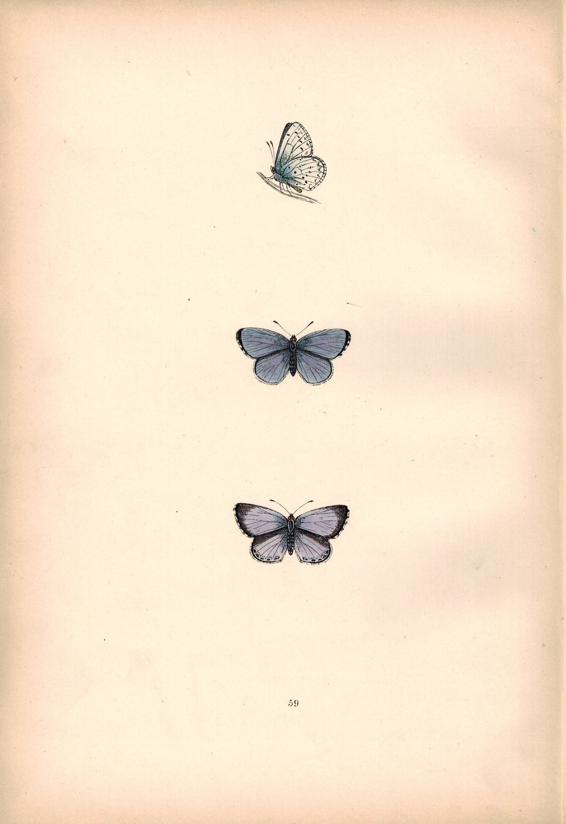 1891 Plate I - Holly Blue - Morris