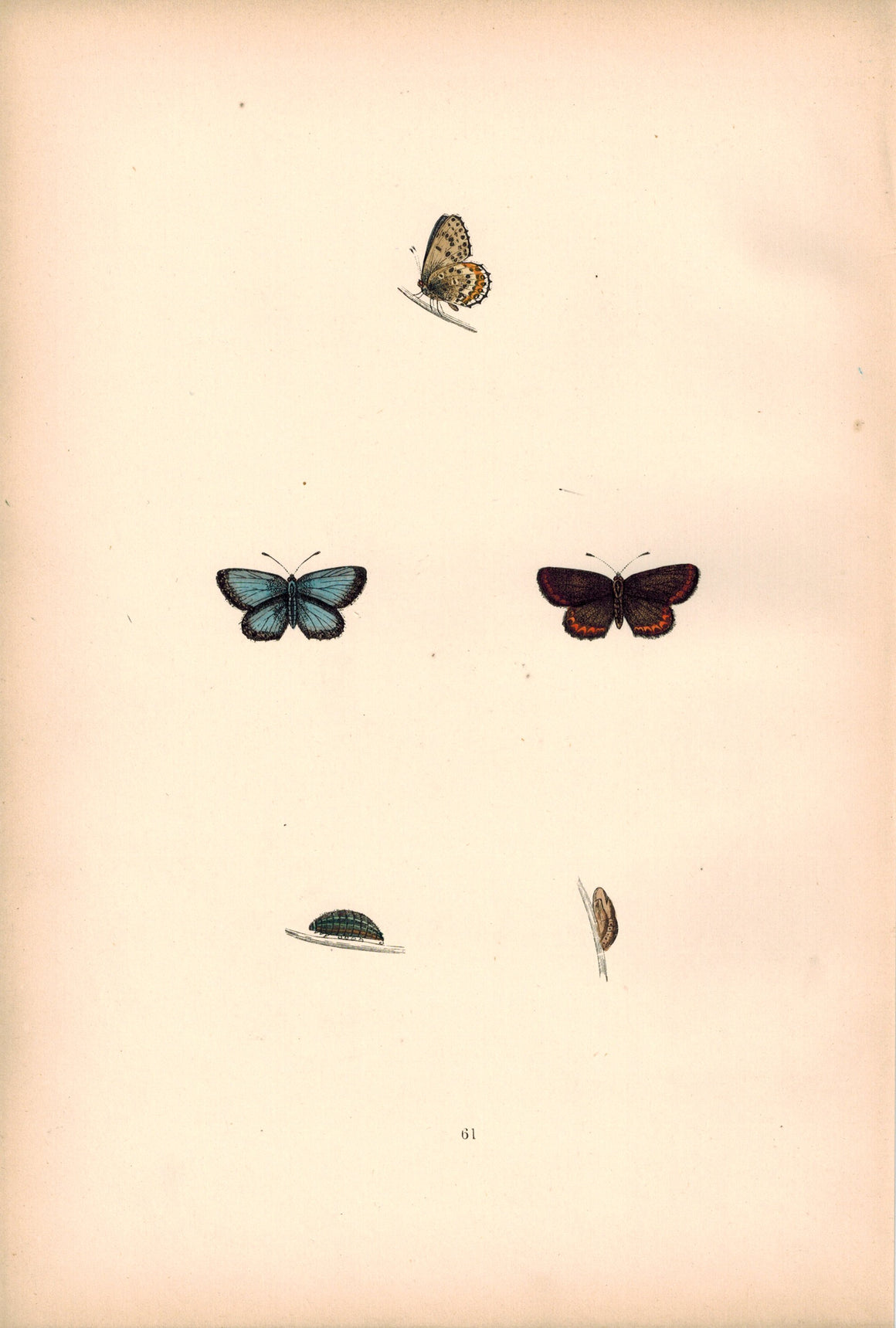 1891 Plate LXI - Silver-Studded Blue - Morris