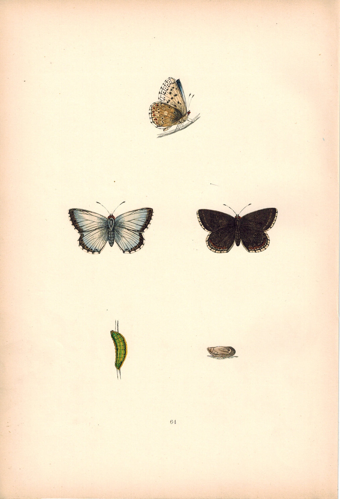 1891 Plate LXIV - Chalk Hill Blue - Morris