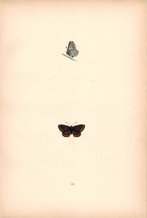 1891 Plate LXV - Brown Argus Blue - Morris