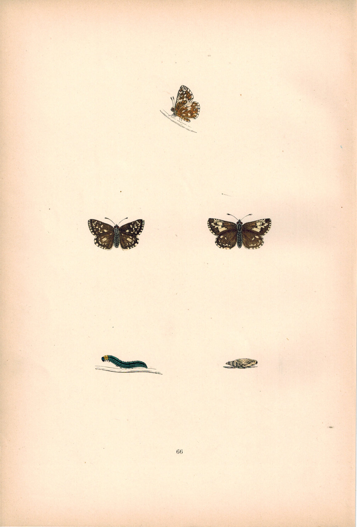 1891 Plate LXVI -Grizzled Skipper - Morris