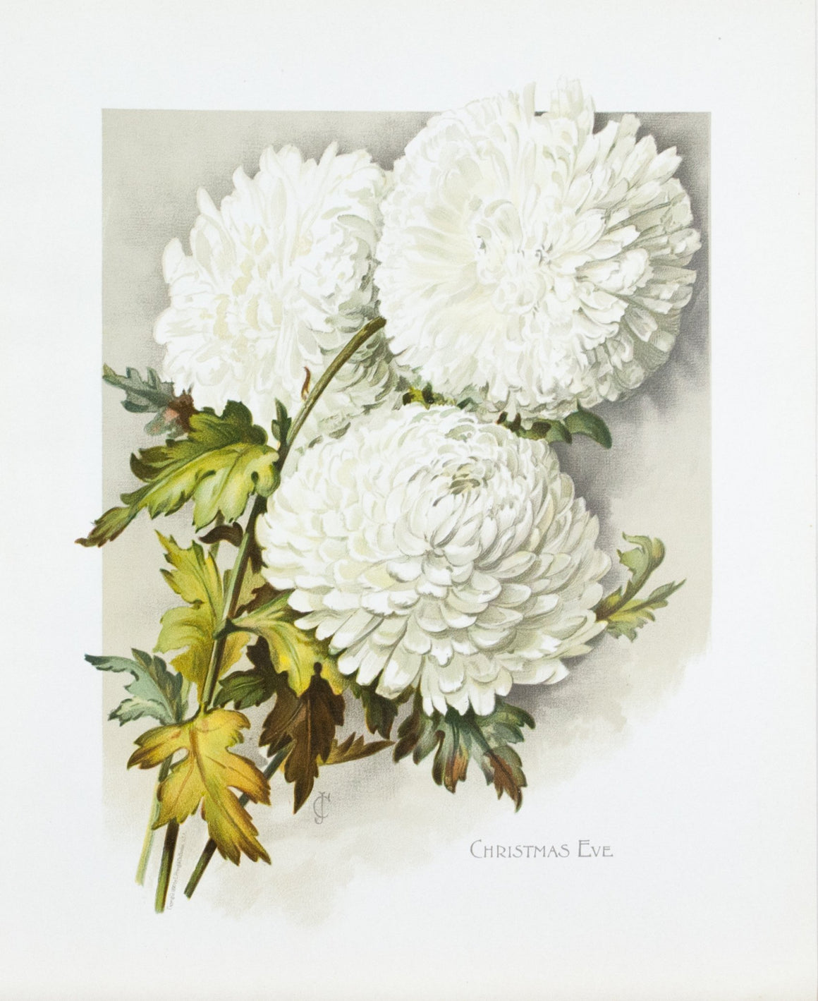 1890 Christmas Eve Chrysanthemum - Mathews
