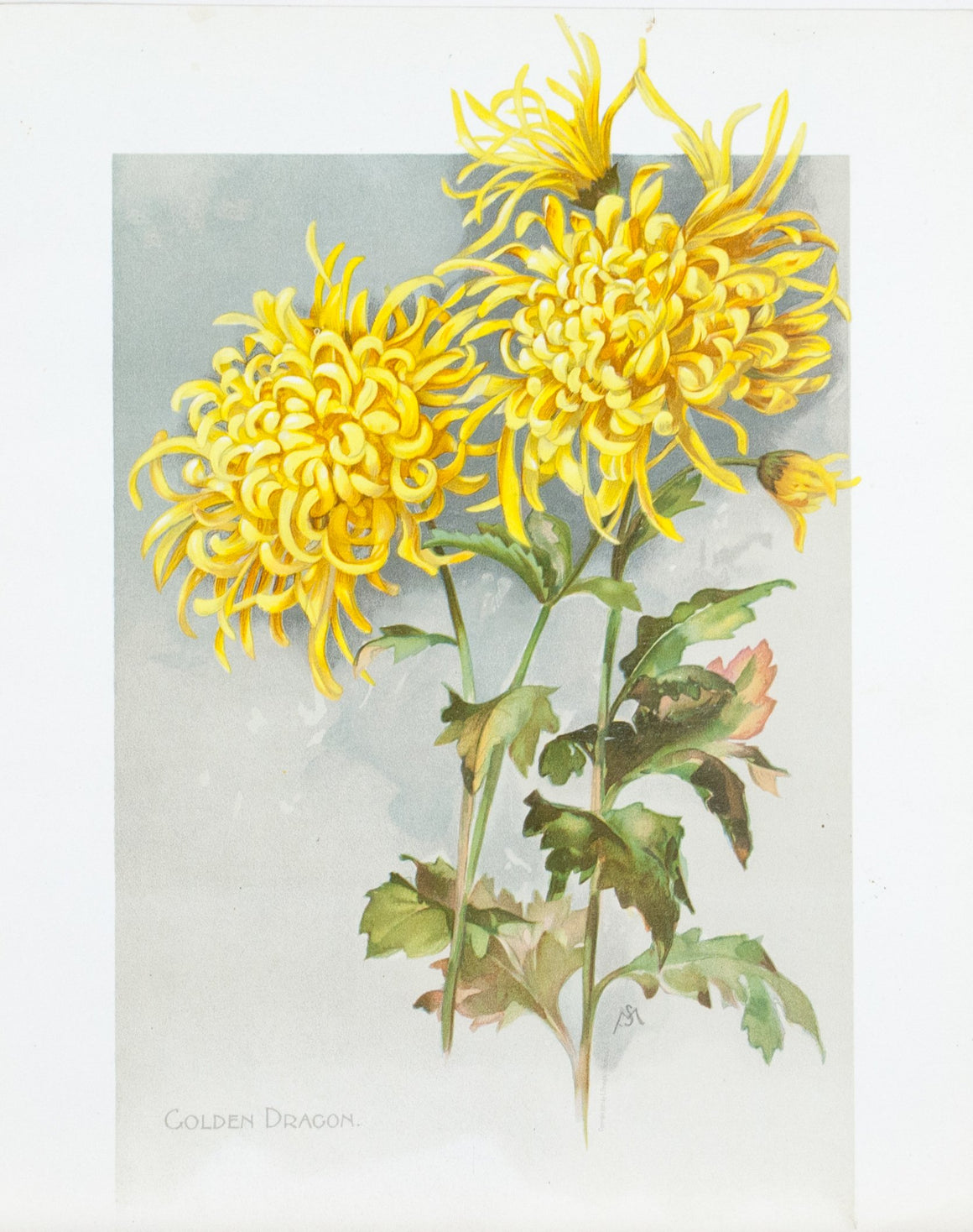 1890 Golden Dragon Chrysanthemum - Mathews