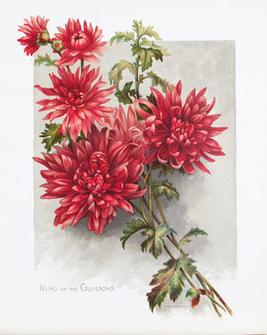 1890 King of the Crimsons Chrysanthemum - Mathews