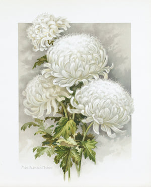 1890 Mrs Alpheus Hardy Chrysanthemum - Mathews