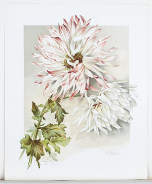 1890 Ceres Chrysanthemum - Mathews
