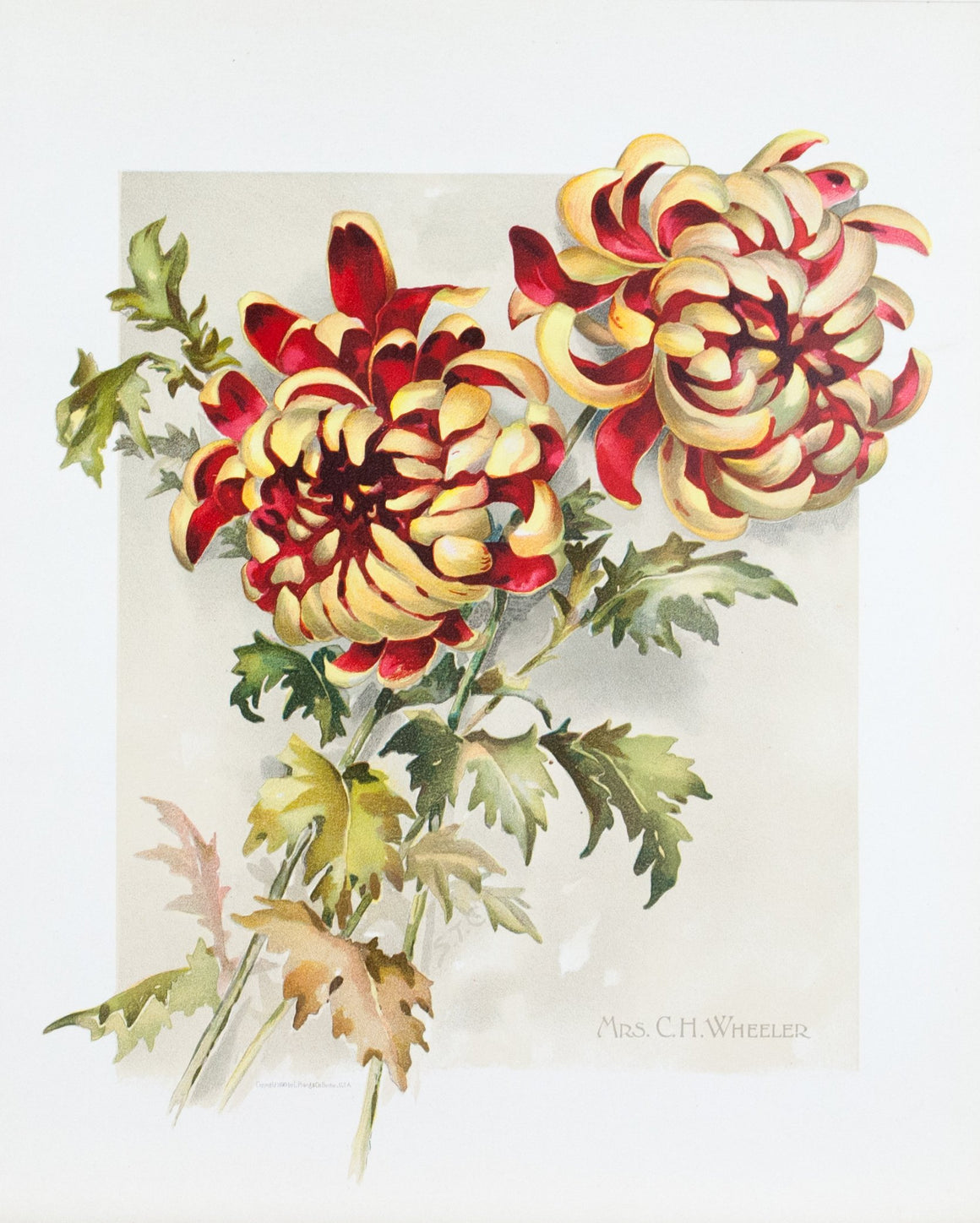 1890 Mrs. C. H. Wheeler Chrysanthemum - Mathews