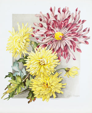 1890 Peter the Great and John Thorpe Chrysanthemums - Mathews