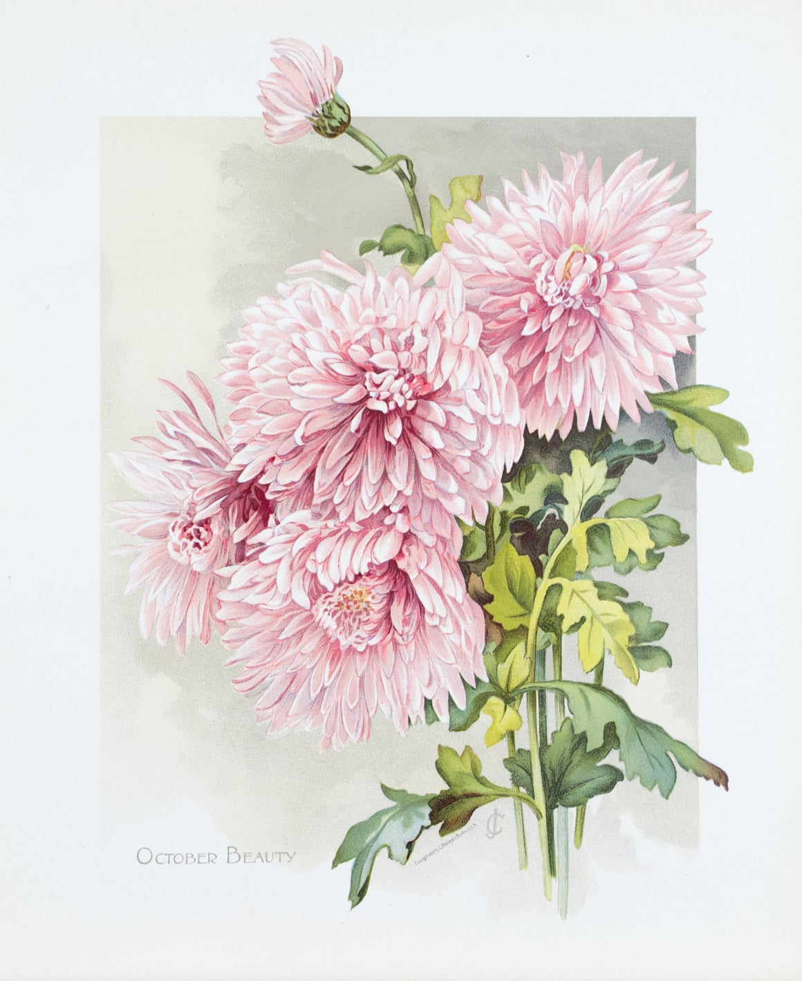1890 October Beauty Chrysanthemum - Mathews