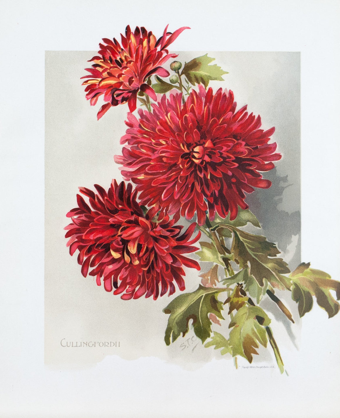 1890 Cullingfordii Chrysanthemum - Mathews