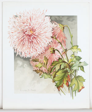 1890 Lilian B. Bird Chrysanthemum - Mathews
