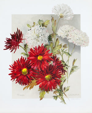 1890 Tokio and Laciniatum Chrysanthemums - Mathews