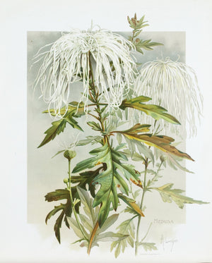 1890 Medusa Chrysanthemum - Mathews