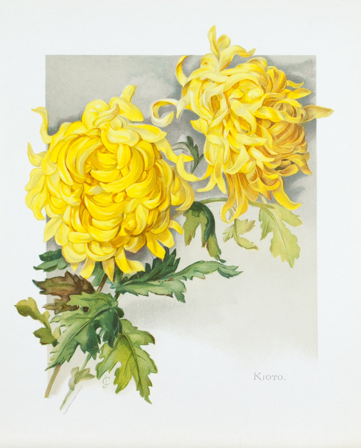 1890 Kioto Chrysanthemum - Mathews