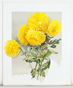 1890 Jardin des Plantes Chrysanthemum - Mathews