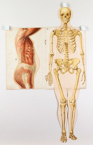 1900c Model of the Female Body