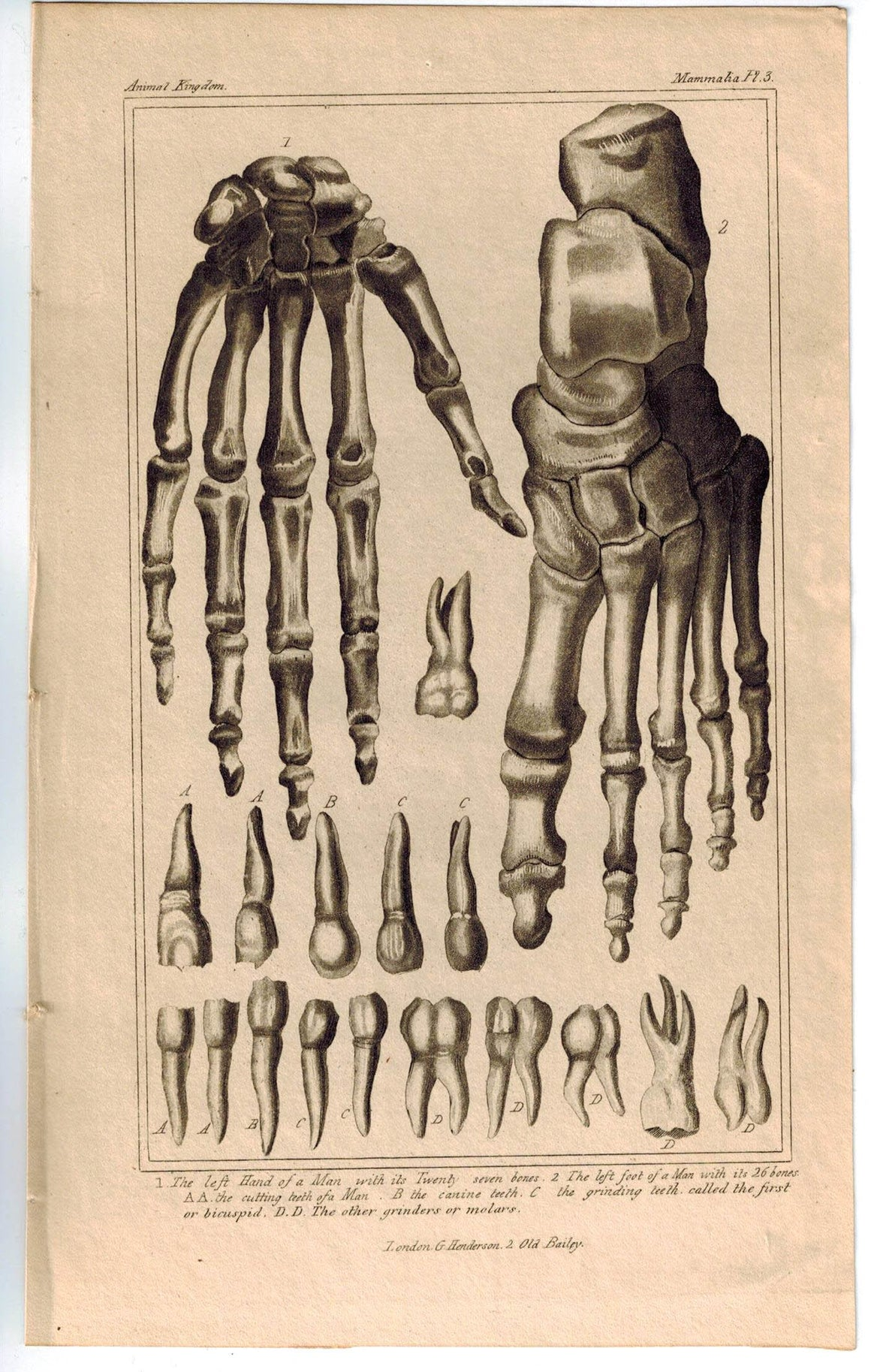 Anatomy of Bones Hand Feet Teeth Skeleton 1837 Antique Engraved Cuvier Print