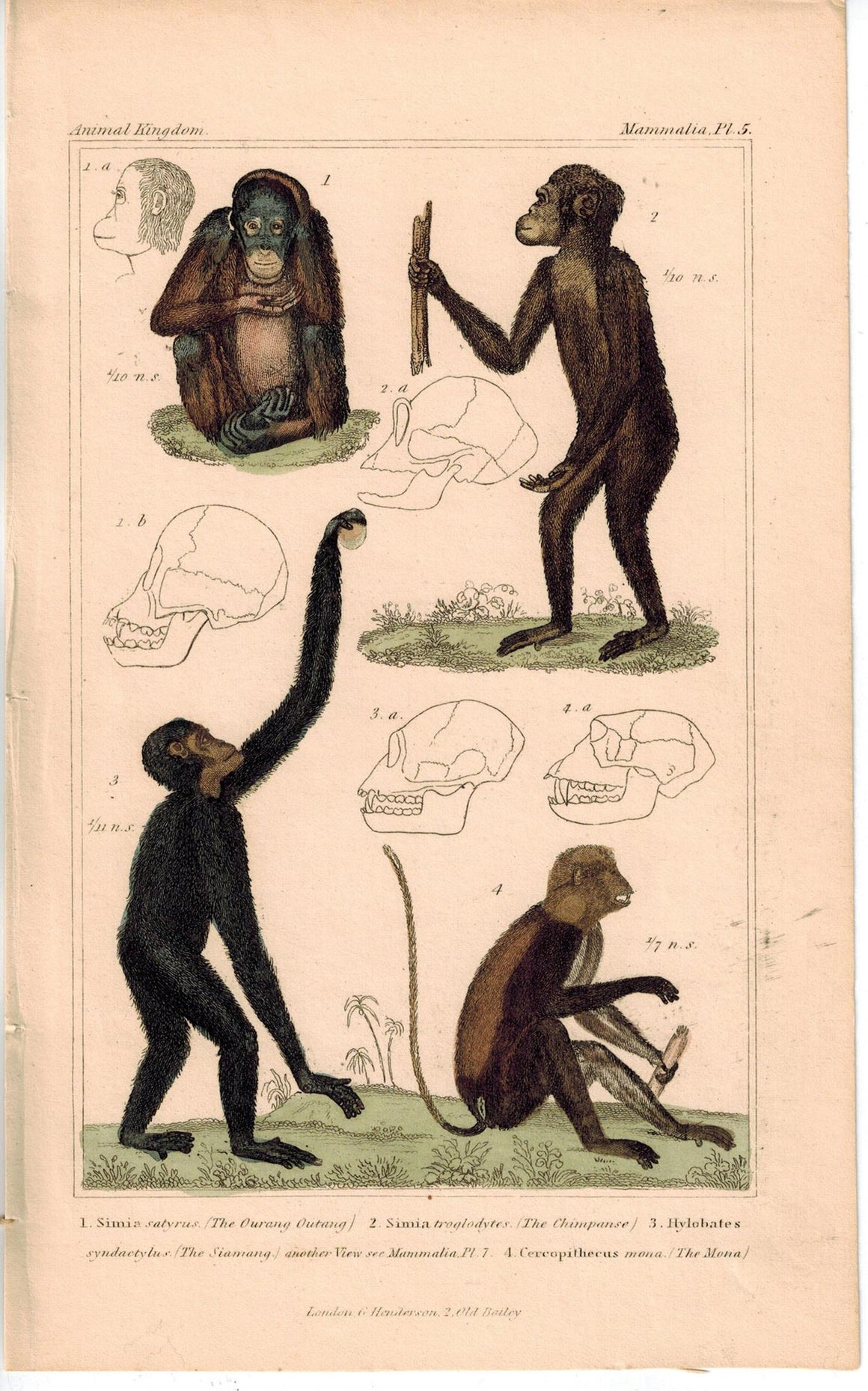 Monkey Orangutan Chimpanzee 1837 Antique Hand Color Mammal Cuvier Print
