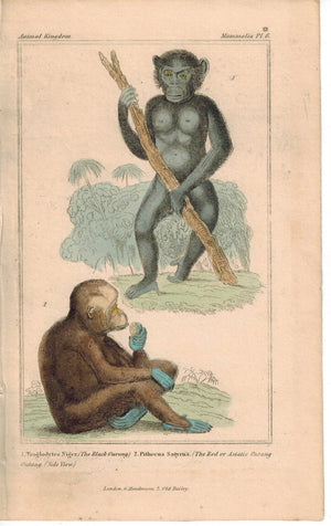 Black Red Orangutan Primates Monkey 1837 Antique Hand Color Cuvier Print