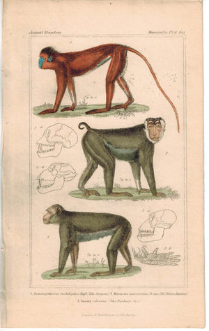 Anatomy of Monkey Baboon Ape 1837  Hand Color Engraved Cuvier Print