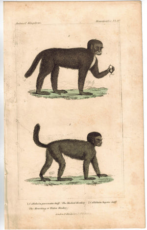 Callithrix The Masked & Widow Monkey 1837 Antique Color Engraved Cuvier Print