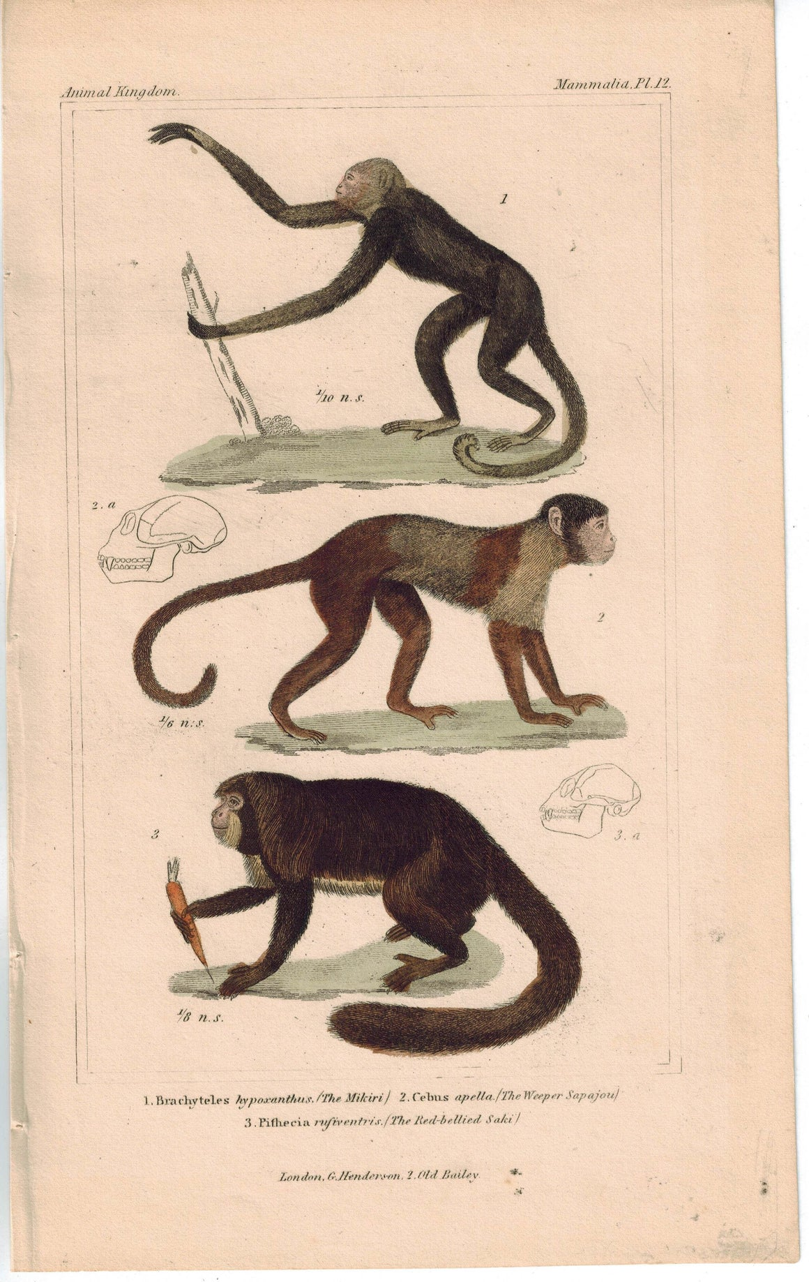 Mikiri Weeper Sapajou Red Bellied Saki Monkey 1837 Engraved Cuvier Print