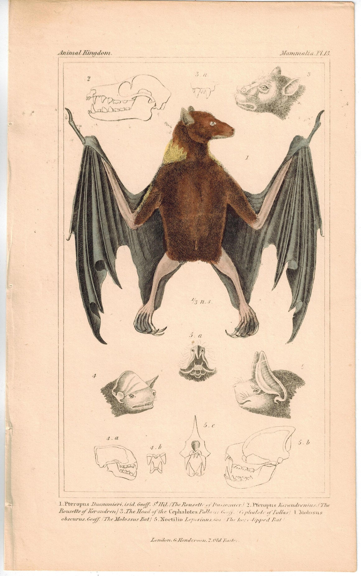 Rousette of Dussumier Bat 1837 Antique Hand Color Engraved Cuvier Print