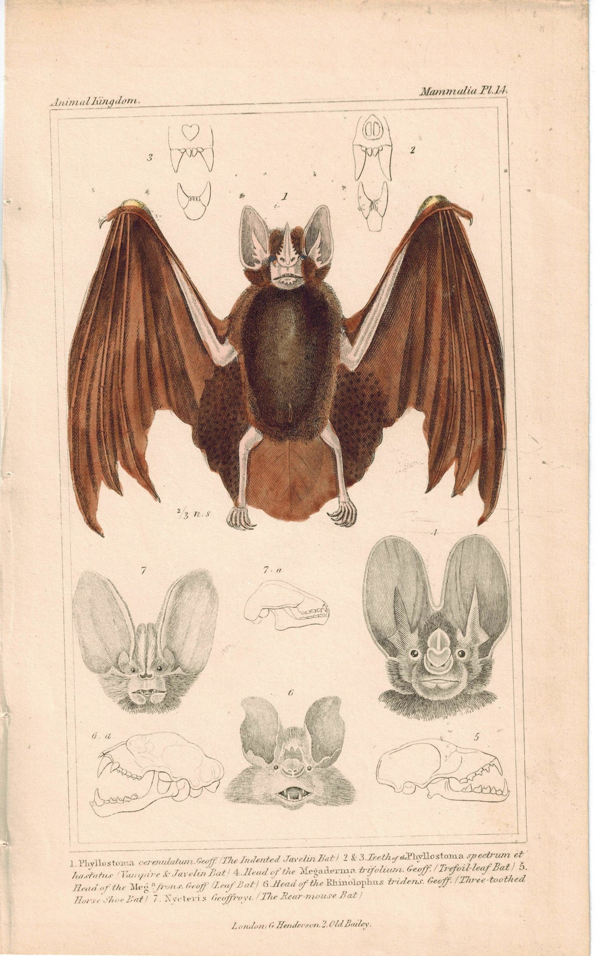 Vampire & Indented Javelin & Rear-Mouse Bat 1837 Engraved Cuvier Print