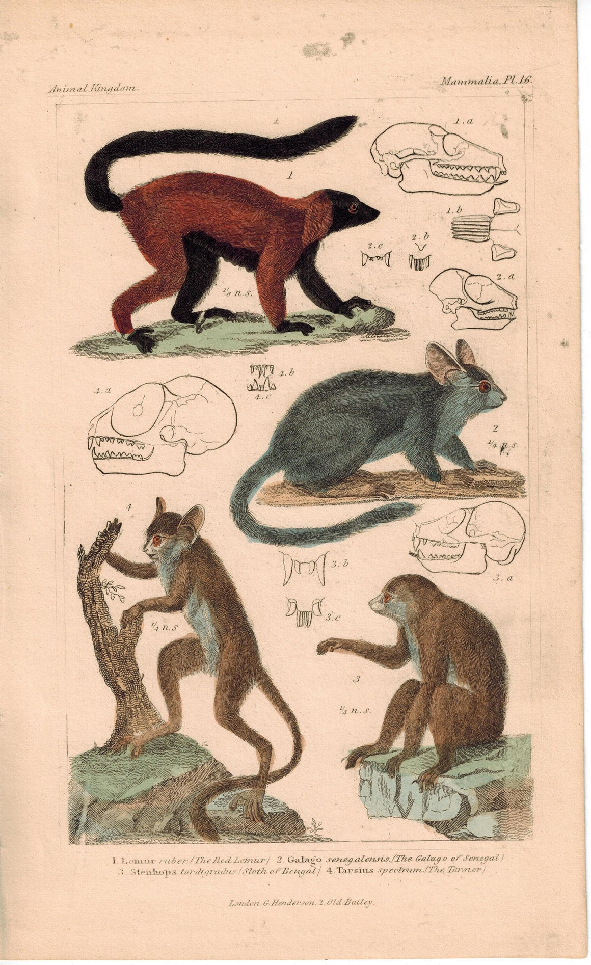 Red Lemur Galago of Senegal and Sloth of Bengal 1837 Color Engraved Cuvier Print
