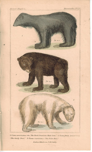 Black Bear Grisly Bear & Polar Bear 1837 Antique Hand Color Engraved Print