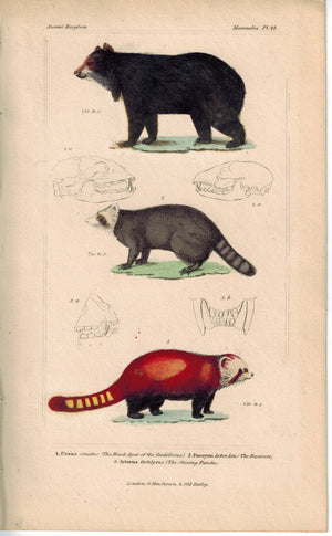 Black Bear Raccoon & Shining Panda 1837 Antique Hand Color Engraved Cuvier Print