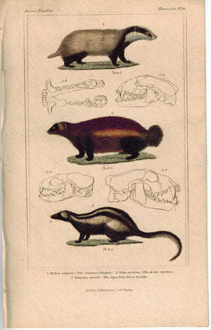 Badger Arctic Gluton & Cape Pole Cat 1837 Antique Color Engraved Cuvier Print