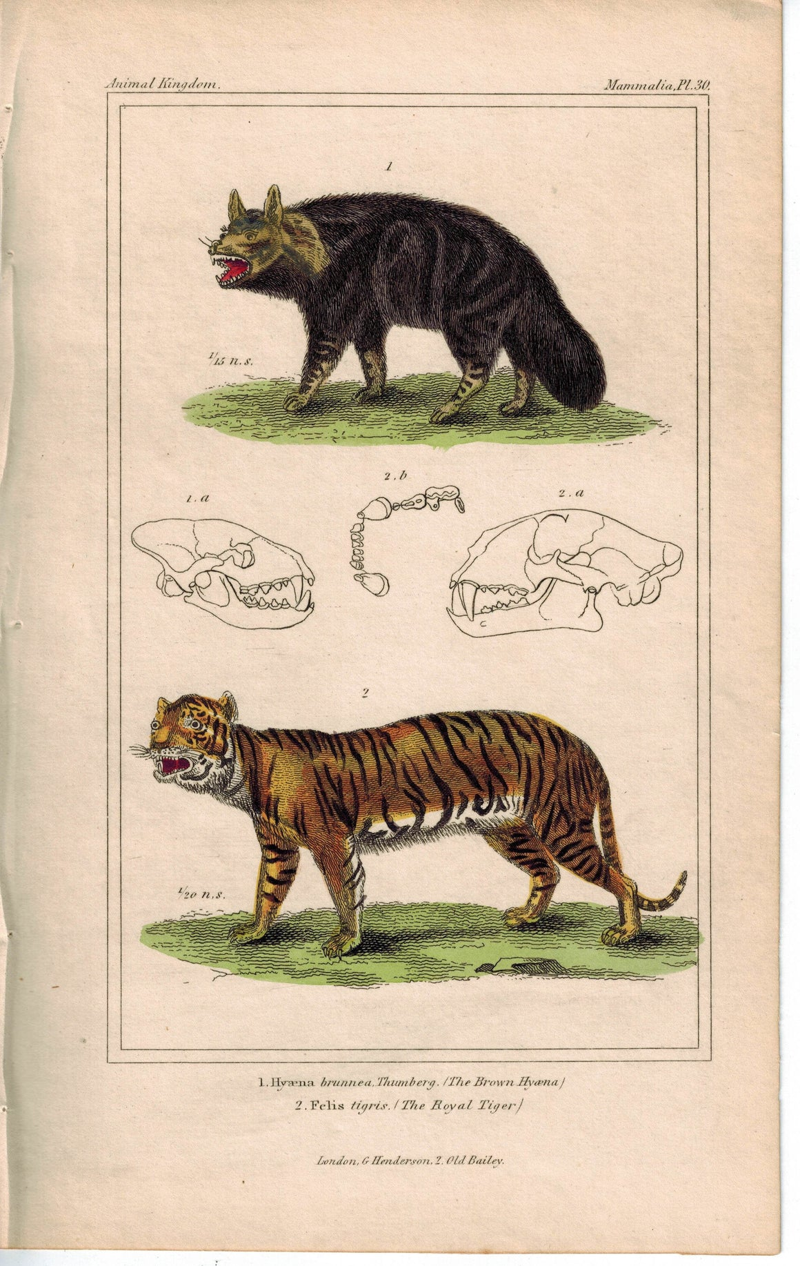 Brown Hyaena & Royal Tiger Cat 1837 Antique  Hand Color Engraved Cuvier Print