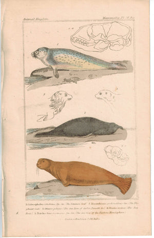 Seal Elephant Seal & Sea Cow 1837 Antique  Hand Color Engraved Cuvier Print